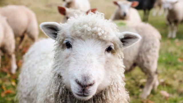 カメラ目線の羊