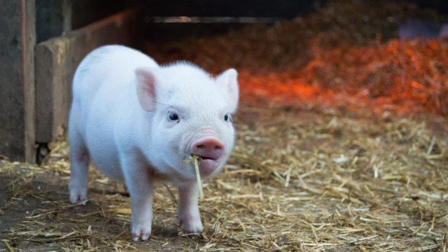 子豚が小屋でカメラ目線